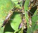 Male Five-banded Tiphiids? - Myzinum - male