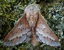 Phyllodesma americana (American Lappet Moth) - Phyllodesma americana