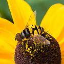 Bee mimic - Chrysotoxum? - Eristalis transversa