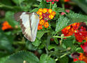 Florida White - Glutophrissa drusilla