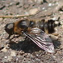 White-tufted bee fly