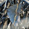 Speranza austrinata (Hodges #6301.1) or guenearia (Hodges #6301)? - Macaria austrinata