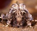 Moth ID - Acrolophus arcanella