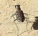 very handsome beetle - Cicindelidia ocellata