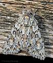 Unknown Moth - Andropolia aedon