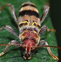 beetle - Xylotrechus colonus