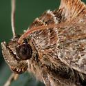 Unknown Moth - Euclidia cuspidea