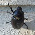 Beetle - Dynastes tityus