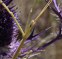 large stick-like mantis - head side view - flat! - Brunneria borealis - female