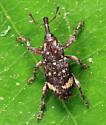 weevil - Pissodes affinis - male