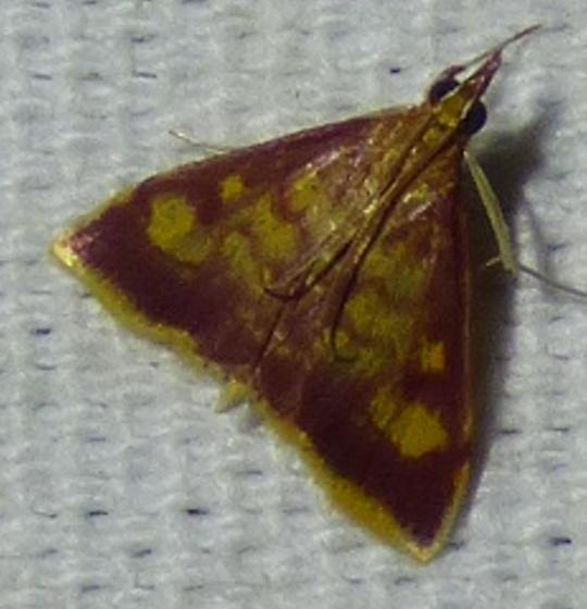 Pyrausta acrionalis - Mint-loving Pyrausta  - Pyrausta acrionalis