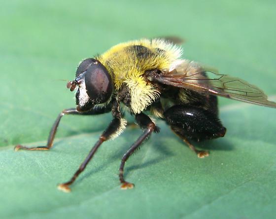 Beefly - Mallota posticata
