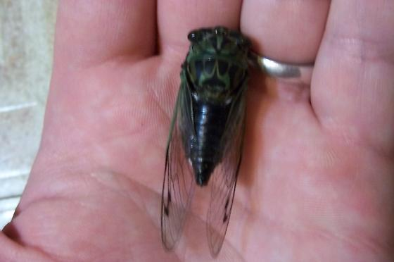 tibicen. - Neotibicen - male