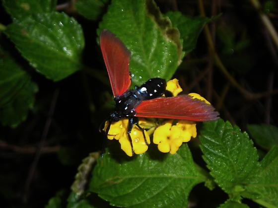 Red and black moth - Empyreuma pugione