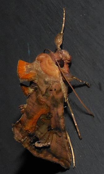 Moth - Autographa bimaculata