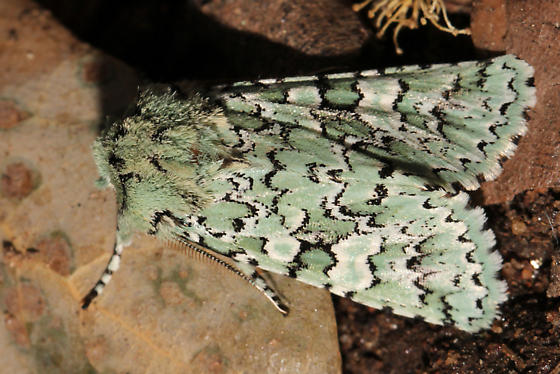 Which moth is this? - Feralia februalis