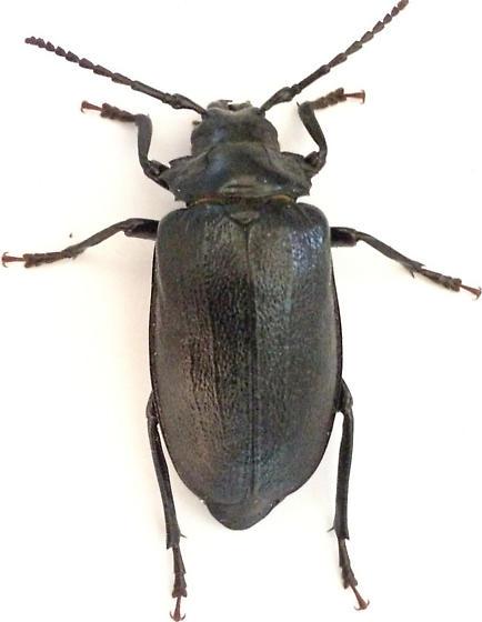 Very Large Beetle that Just bit Me (I deserved it) - Prionus laticollis