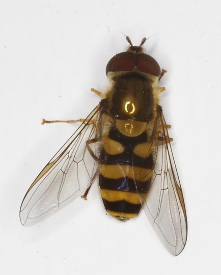 Syrphidae - Syrphus