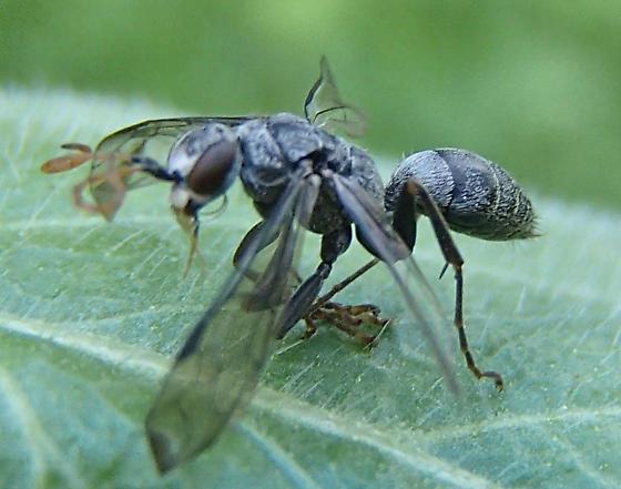 Wasp? - Dipogon