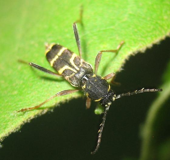 Cerambycidae - Xylotrechus nitidus
