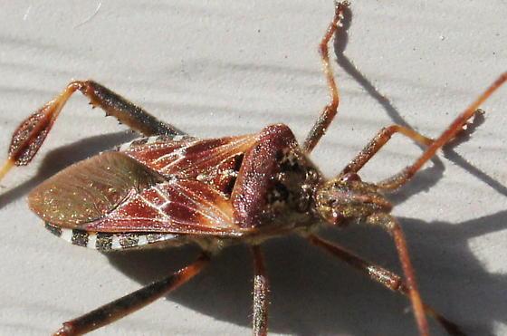 Leaf footed bug? - Leptoglossus occidentalis