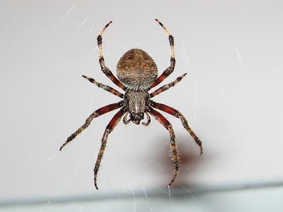 Barn Spider Neoscona Crucifera Bugguide Net