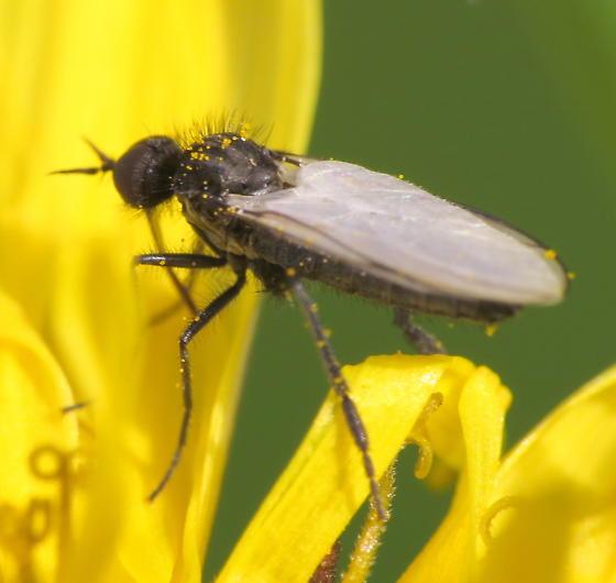 Dance Fly - Empis? - Rhamphomyia - male