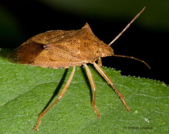 Stinkbug on the Ledges - Apoecilus cynicus