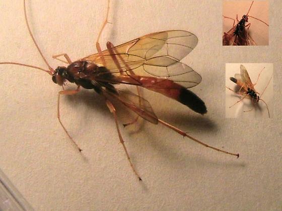 Digger Wasp?? - Opheltes glaucopterus