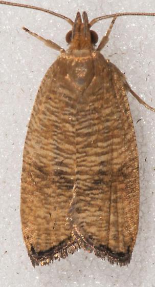 Psilocorsis cryptolechiella – Black-fringed Leaftier - Psilocorsis cryptolechiella