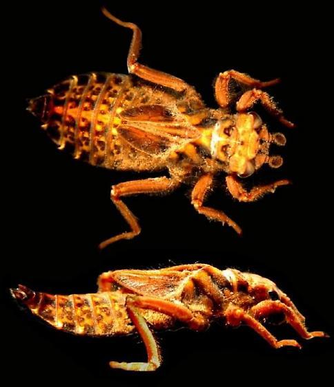 Octogomphus specularis