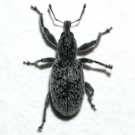 Weevil - Myrmex estriatus