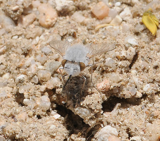 Pantarbes - Pantarbes earinus - female