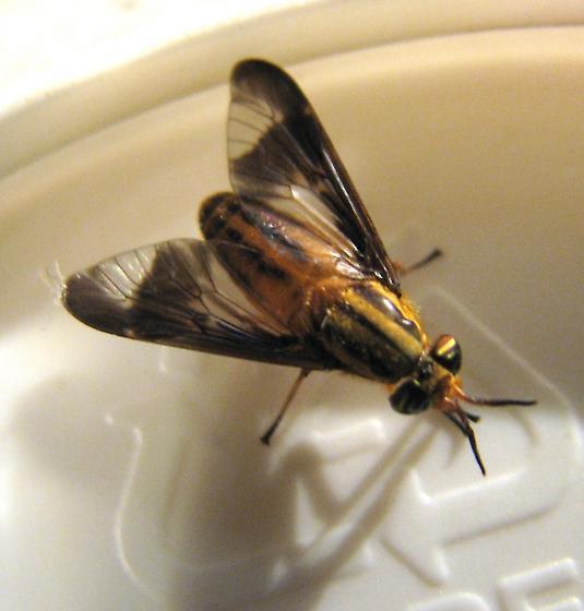 Diptera:Muscidae? - Chrysops - female