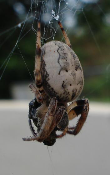 Foliate Spider - Larinioides cornutus - female