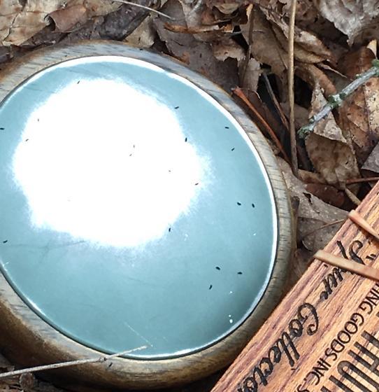 tiny bugs in Missouri woods