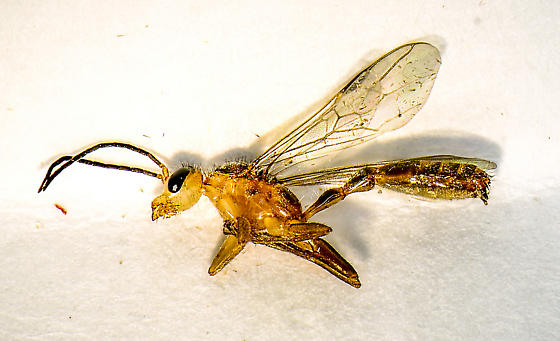 antlike winged - Pseudomyrmex gracilis