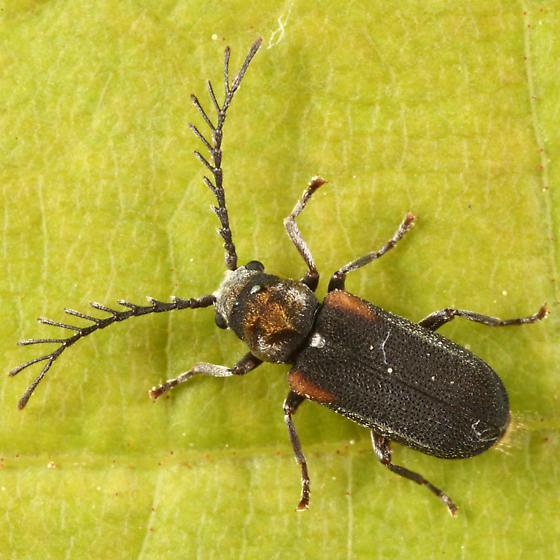 Anobiid - Eucrada humeralis - male