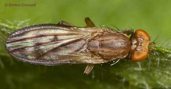 Fly resting on a leaf - Opomyza germinationis