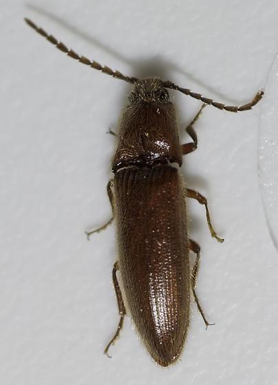 smallish click - Dipropus ferreus