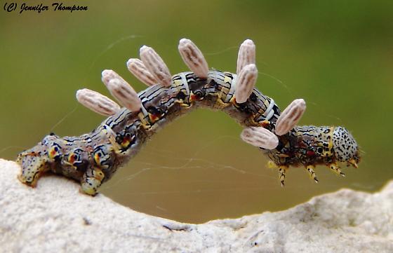 Parasitized Caterpillar   - Microplitis