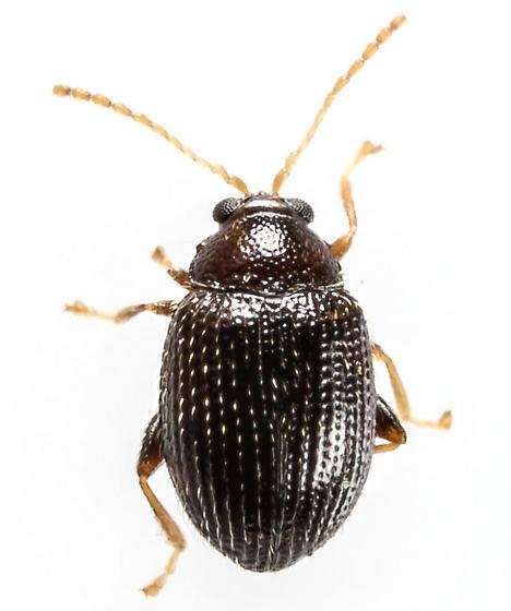 Beetle - Epitrix brevis
