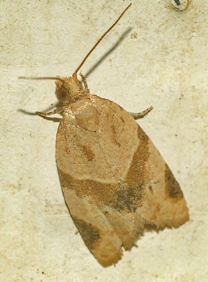 Garden Tortrix Moth - Clepsis peritana - Clepsis peritana