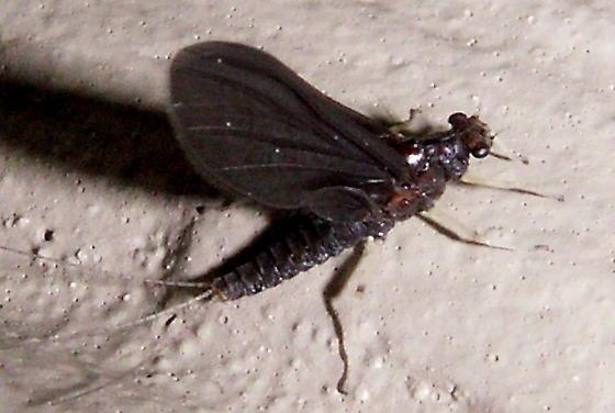 Mayfly - Teloganopsis deficiens - female