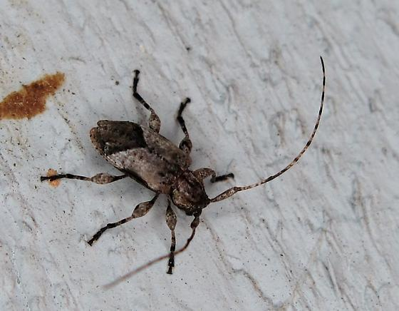 Longhorn Beetle - Styloleptus biustus