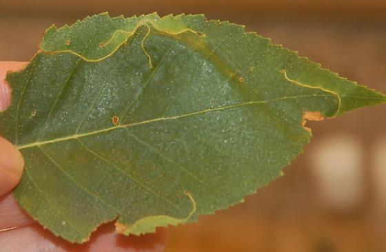 Seattle leaf miner on Betula SW1 2016 3 - Lyonetia prunifoliella