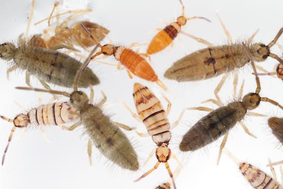 Cotton Springtail + E. atrocincta - Entomobrya