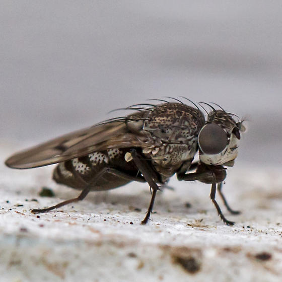 shore fly - Paralimna punctipennis