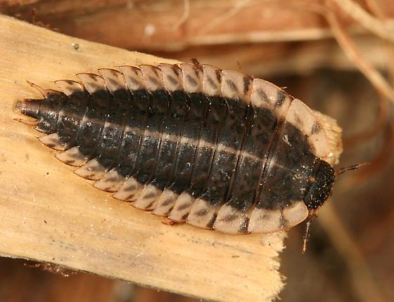 Margined Carrion Beetle Larva Oiceoptoma Noveboracense