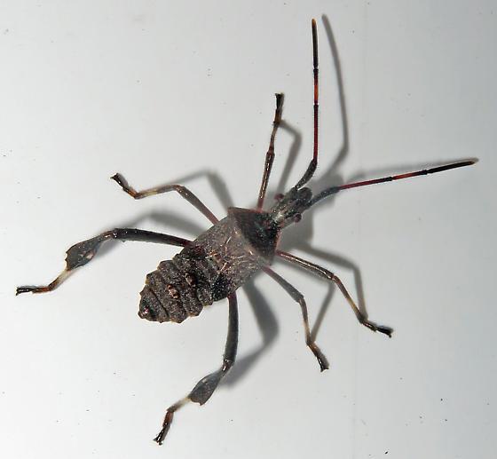 Leptoglossus nymph - Leptoglossus